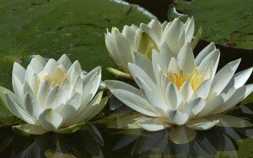 цветы, листья, пруд, кувшинки, нимфея, водяные лилии, белые лилии