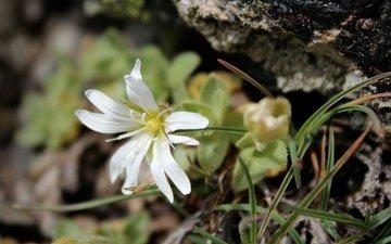 природа, фон, лепестки, белый цветок