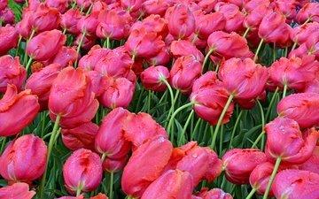 цветы, бутоны, капли, весна, мокрые, тюльпаны, розовые