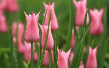 цветы, бутоны, весна, тюльпаны, розовые