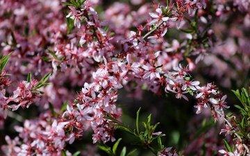 цветение, весна, розовые цветы, миндаль, декоративный миндаль