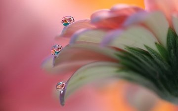 macro, flower, drops, petals, gerbera