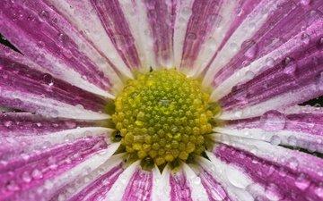 макро, цветок, капли, лепестки, хризантема