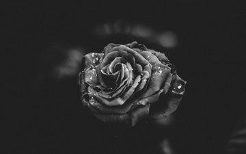 цветок, капли, роза, лепестки, чёрно-белое