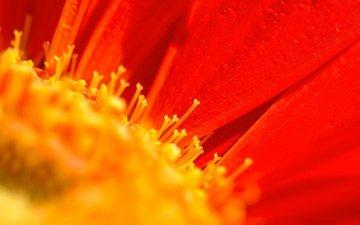 макро, цветок, лепестки, тычинки, гербера