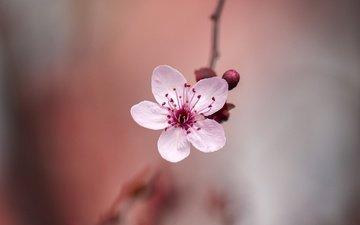 цветение, цветок, размытость, весна, сакура, боке