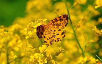 цветы, насекомое, бабочка