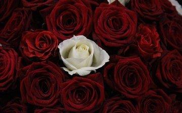 цветы, бутоны, розы, красные, букет, роза белая