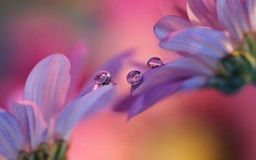 цветы, фон, капли, лепестки, герберы