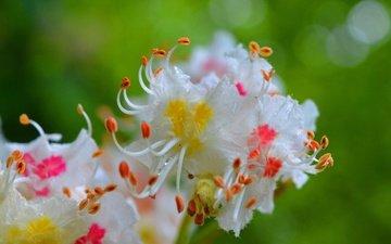 цветы, цветение, капли, весна, каштан