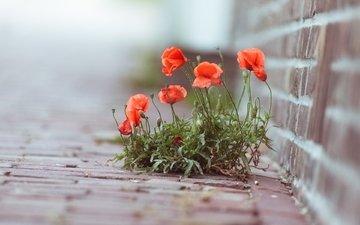 цветы, зелень, макро, маки, улица, растение, кирпичи