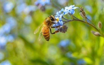 цветы, макро, насекомое, растение, пчела, незабудка