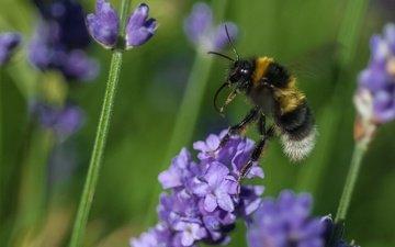 цветы, макро, насекомое, растение, пчела, шмель