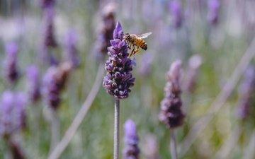цветы, насекомое, лаванда, пчела