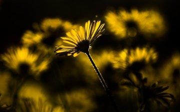 цветы, природа, фон, лепестки, ромашки, стебель