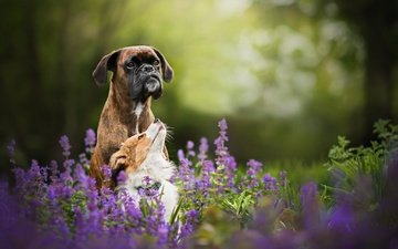 цветы, природа, друзья, собаки, боксер, в солнечной, бордер-колли, tini