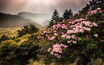 цветы, горы, природа, туман, тайвань, азалия, рододендрон, jeff lee