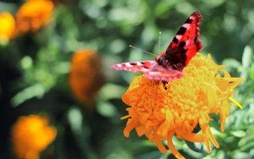 цветы, природа, зелень, насекомое, лето, бабочка