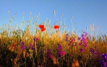 небо, цветы, трава, растения, полевые цветы