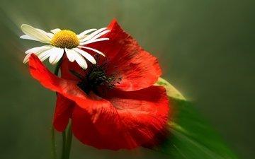 flowers, petals, daisy, blur, mac, marie romantica