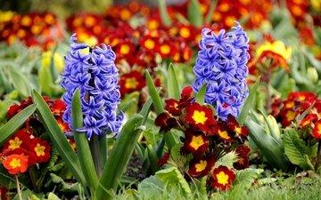 цветы, примула, гиацинты