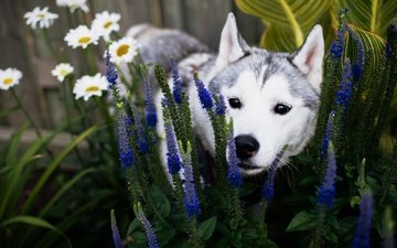 цветы, трава, природа, собака, щенок, ромашки, хаски