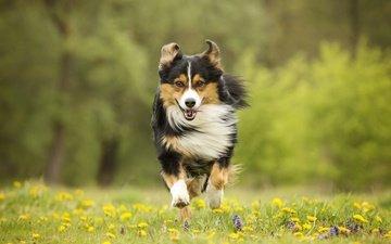 цветы, собака, луг, прогулка, бег