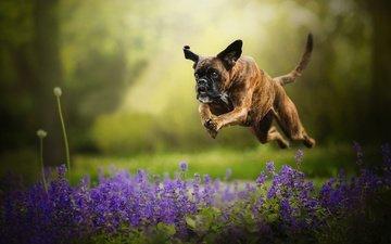 цветы, собака, прыжок, бег, боке, боксер