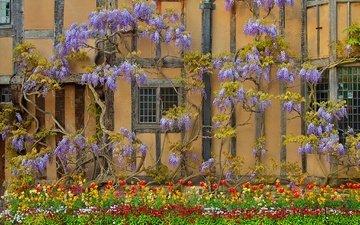 цветы, стена, дом, англия, глициния, вистерия