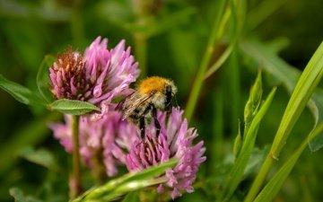 цветы, трава, клевер, насекомое, пчела, полевые цветы