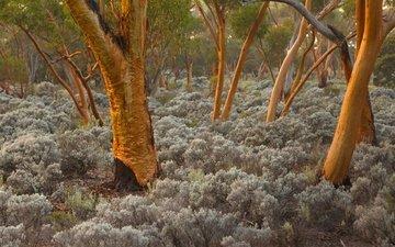 деревья, стволы, австралия, эвкалипт