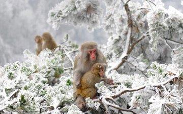 деревья, снег, зима, китай, макаки, заповедник, обезьяны, японский макак, снежные обезьяны