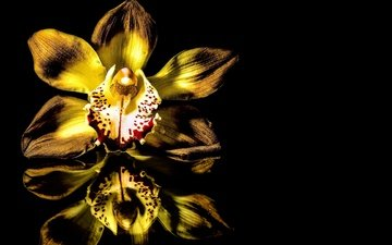 reflection, background, flower, black, yellow, orchid