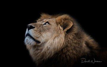 background, predator, black background, leo, beast