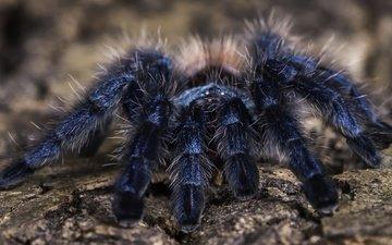 фон, паук, тарантул, martinique pink toe tarantula