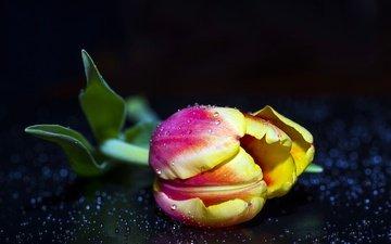 цветок, капли, бутон, черный фон, тюльпан