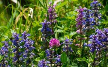 цветы, трава, клевер, лето, луг, полевые цветы, шалфей