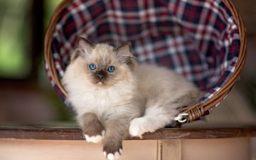 кошка, котенок, корзина, животное, рэгдолл