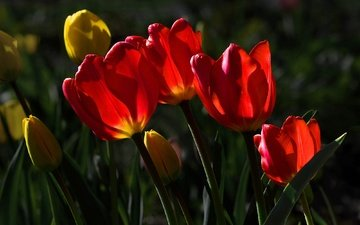 цветы, красные, тюльпаны, желтые, солнечный свет