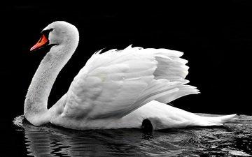 вода, отражение, птица, клюв, черный фон, перья, лебедь