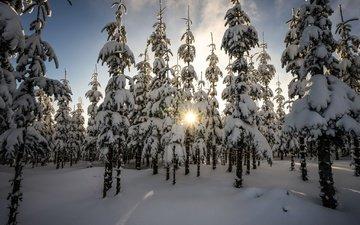 деревья, лес, зима, утро, ели, еди, солнечный свет