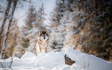 глаза, морда, деревья, снег, лес, зима, взгляд, волк