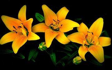 цветы, черный фон, лилии, желтые
