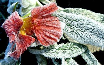 листья, цветок, мороз, иней, ворсинки, примула