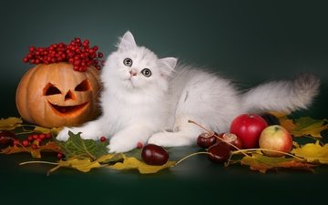 leaves, cat, apples, autumn, berries, animal, halloween, pumpkin, chestnuts, scottish, longhair