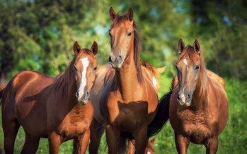 лошадь, природа, фон, лошади, кони, коричневые