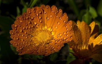 цветы, макро, капли, лепестки, календула, ноготки