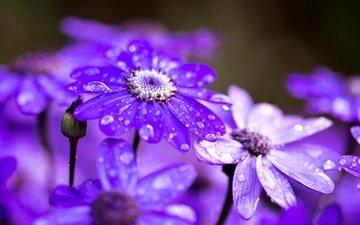 цветы, макро, капли, лепестки, после дождя, цинерария