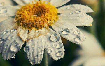 макро, цветок, капли, лепестки, ромашка