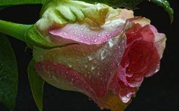 макро, цветок, капли, роза, бутон, черный фон